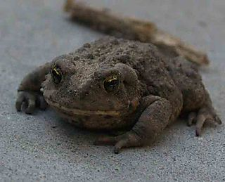 WoodpileToad