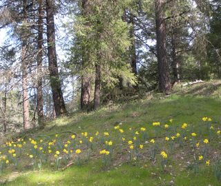DaffodilHillOpen