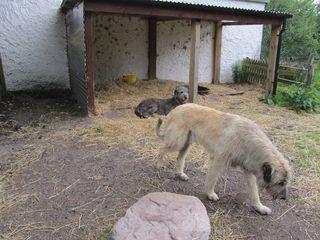 IrishWolfhounds