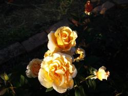 Morning_roses