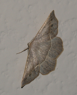 Monday_moth_2