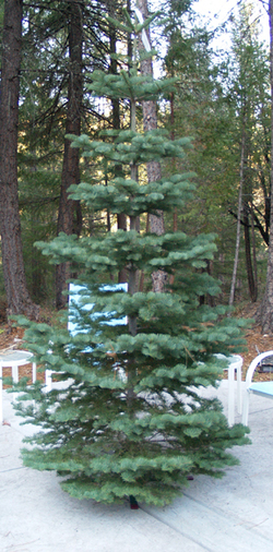 First_christmas_tree