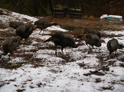 Turkeys_close