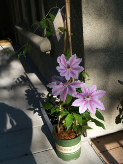 Md_clematis