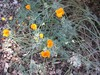 California_poppy