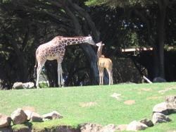 Giraffe_baby_mama