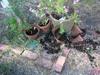 Tankinated_geraniums